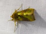 Gröngul metallfly - Diachrysia chrysitis - Burnished Brass
