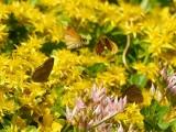 Flygande mindre tåtelsmygare - Flying Thymelicus lineola - Flying Essex Skippers