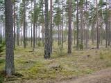 Den glesa tallskogen på Vissbodamon