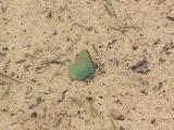 En grönsnabbvinge värmer sig på sanddynen