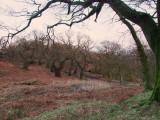 ancient  oak woods