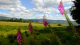 Foxgloves  in  the  Southern  Uplands.