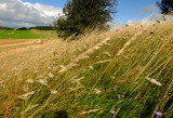 Strong  winds  batter  the  long  grasses.