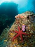 Red Starfish - Daram