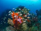 Schooling fish - Daram
