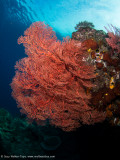 Another giant seafan - Daram