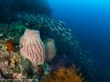 Reef scene with sponges - Daram