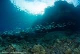 Schooling fish near the surface - Daram