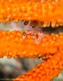 Tiny Crab - Misool