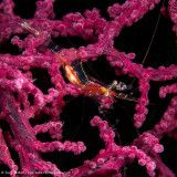 Shrimp - Misool