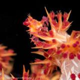 Candy Crab - Misool