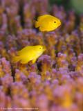 Yellow fish - Aljui Bay