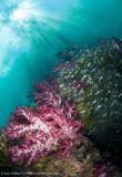 Reef scene - Aljui Bay