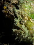 Frogfish - Aljui Bay