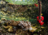 Mangrove softcoral reflections