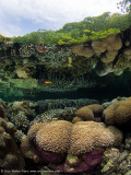 Mangrove reflected corals