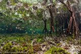 Mangrove fishlife
