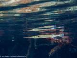 Mangrove needlefish
