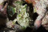 Frogfish - Arborek Jetty (EM1)
