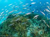 schooling fish - Dampier Strait