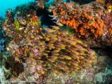 Little fish - Dampier Strait (EM1)