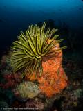 Crinoid & sponge - Dampier Strait (EM1)