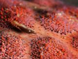 Starfish shrimp - Dampier Strait (EM1)