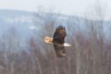 Pygargue à tête blanche --- _E5H4503 --- Bald Eagle
