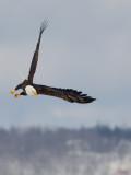 Pygargue à tête blanche -- Bald Eagle