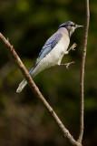 Geai bleu -- _E5H6029 -- Blue Jay