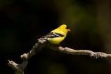 Chardonneret jaune -- _E5H5966 -- American Goldfinch