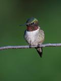 Colibri à gorge rubis -- _MG_0334 -- Ruby-throated Hummingbird