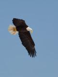 Pygargue à tête blanche -- _E5H3708 -- Bald Eagle