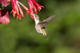 Colibri à gorge rubis --- _E5H5441 --- Ruby-throated Hummingbird