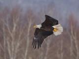 Pygargue à tête blanche -- _E5H4166 -- Bald Eagle