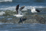 Goéland marin -- _E5H6676 -- Great Black-backed Gull