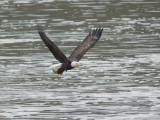 Pygargue à tête blanche -- _E5H0428 -- Bald Eagle