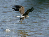 Pygargue à tête blanche - _E5H3031 - Bald Eagle