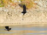 Pygargue à tête blanche -- _E5H2058 -- Bald Eagle