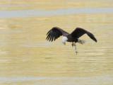 Pygargue à tête blanche -- _E5H2069 -- Bald Eagle