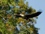 Pygargue à tête blanche -- _E5H2121 -- Bald Eagle