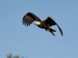 Pygargue à tête blanche -- _E5H2115 -- Bald Eagle