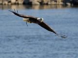 Pygargue à tête blanche -- _E5H2998 -- Bald Eagle