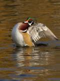 Branchu --- _E5H9208 --- Wood Duck