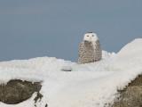 Harfang des neiges -- _E5H3704 -- Snowy Owl