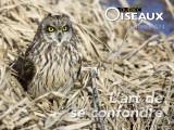 Hibou des marais -- Short-eared Owl