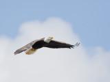 Pygargue à tête blanche -- _E5H2631 -- Bald Eagle