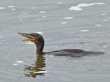 Cormoran à aigrettes -- Double-crested Cormorant -- _E5H0341