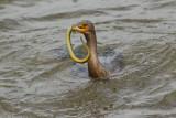 Cormoran à aigrettes --- _E5H0830 --- Double-crested Cormorant