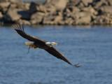 Pygargue à tête blanche -- _E5H3000 -- Bald Eagle